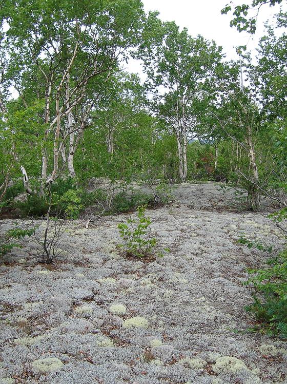 Тундровая растительность на опушке леса.