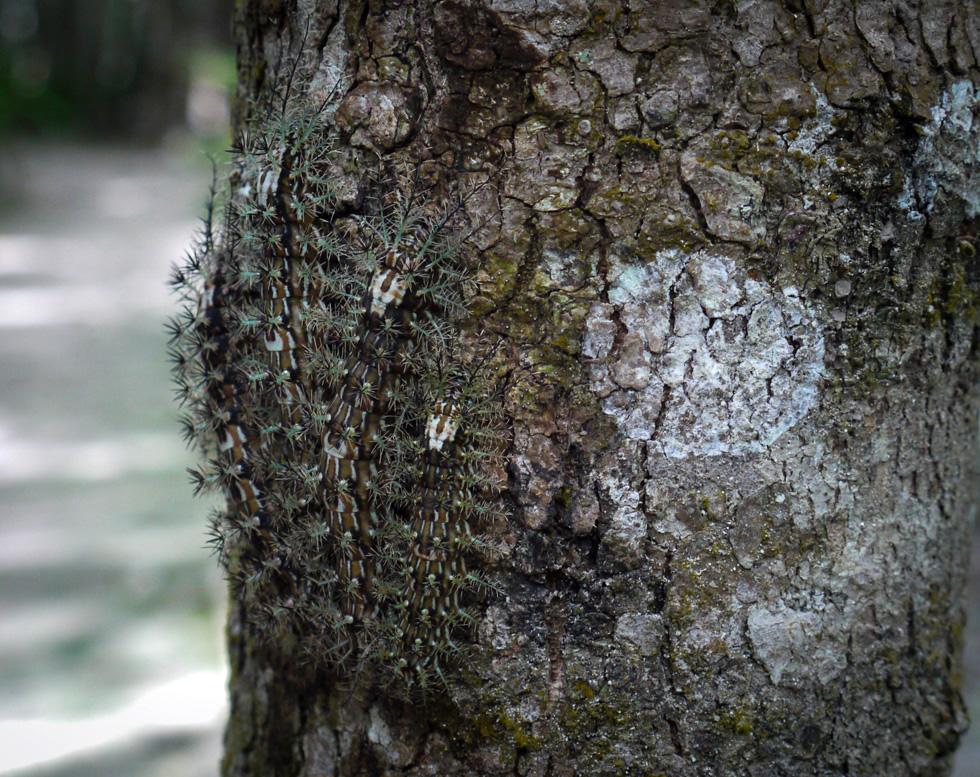 Колония гусениц