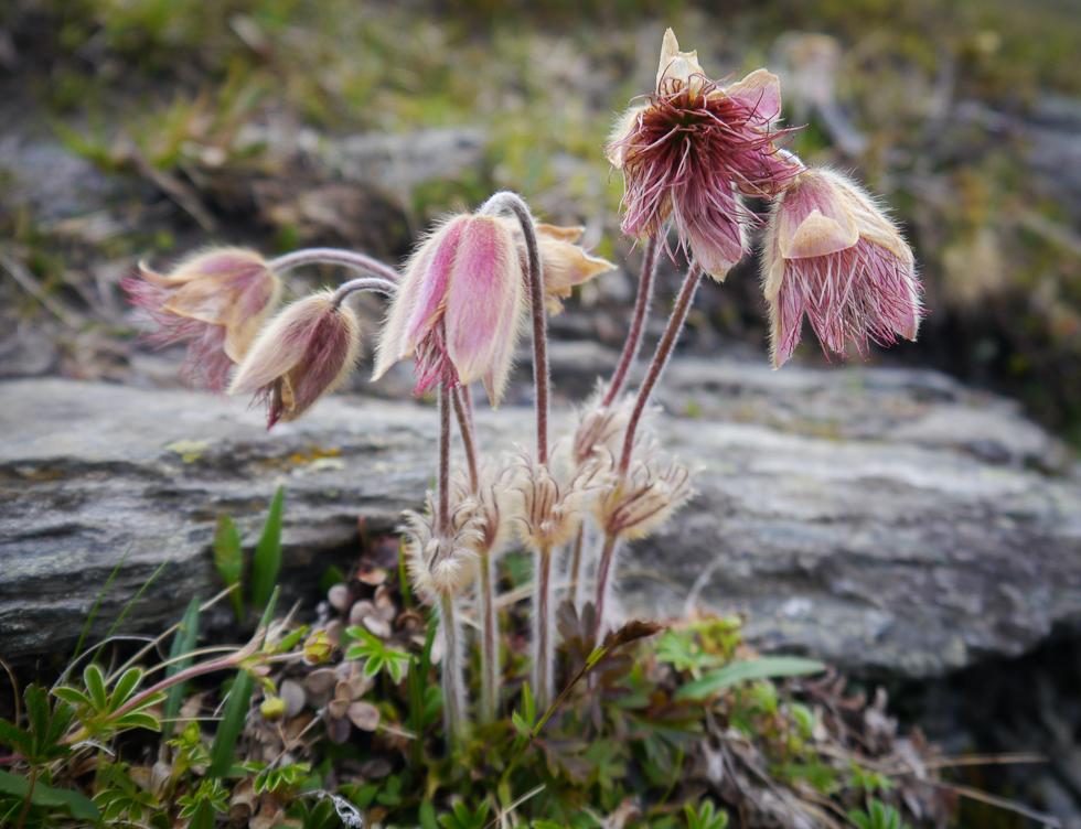 Цветы в тундре