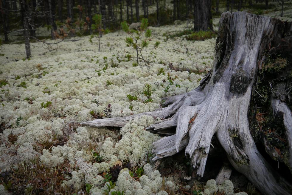 Ягельный лес в Норвегии