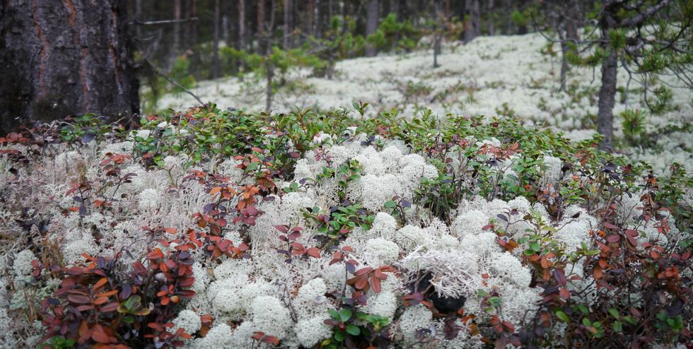 Лесные поля норвежского ягеля