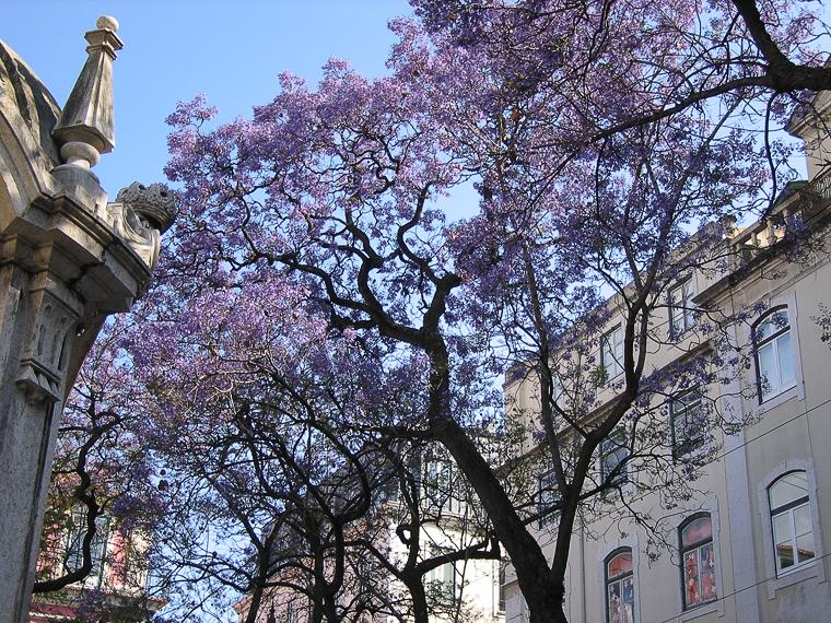 На улицах Лиссабона растут деревья, у которых весной цветы вместо листьев