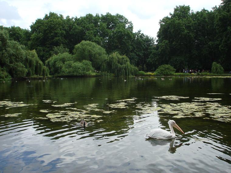 В центре Лондона в парке напротив резиденции королевы живут пеликаны
