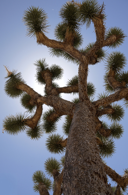 Собственно дерево Джошуа. Таких деревьев в парке очень много.