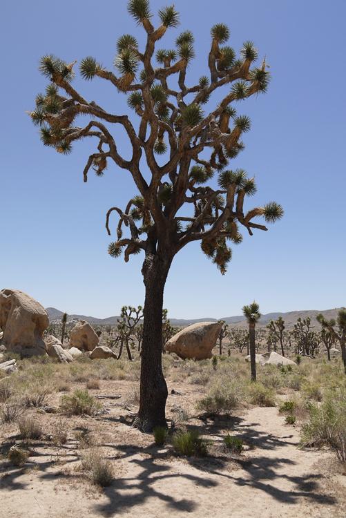 Дерево Джошуа. У этих деревьев необычные тени