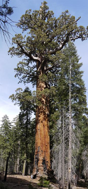 Возраст многих секвой - больше 1000 лет. Их толстая негорючая кора хранит на себе следы пожаров, которые бушевали здесь несколько сотен лет назад. На этой фотографии у основания дерева стоит человек.