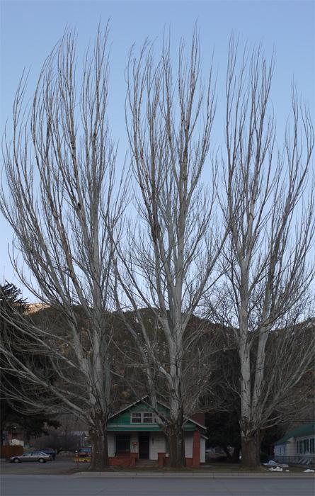Три дерева в Гленвуд Спрингс (Glenwood Springs, CO)