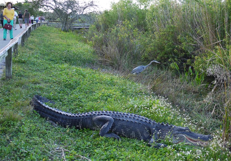Флоридские аллигаторы