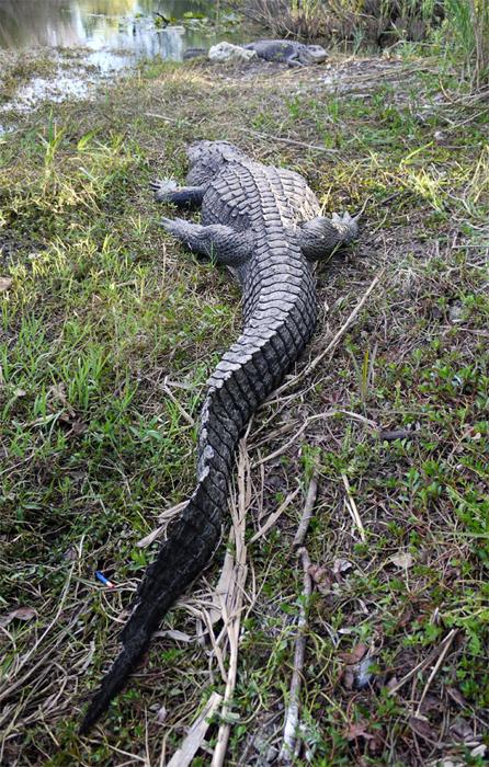 Хвост аллигатора