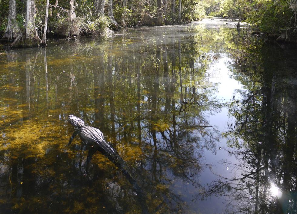Аллигатор в воде