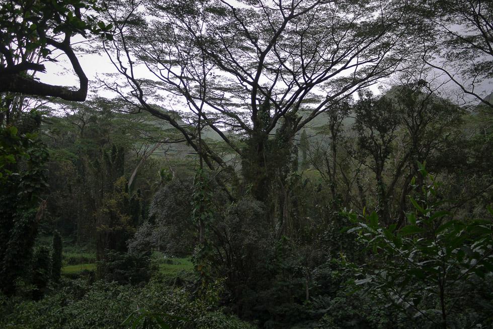Огромное дерево на Оаху
