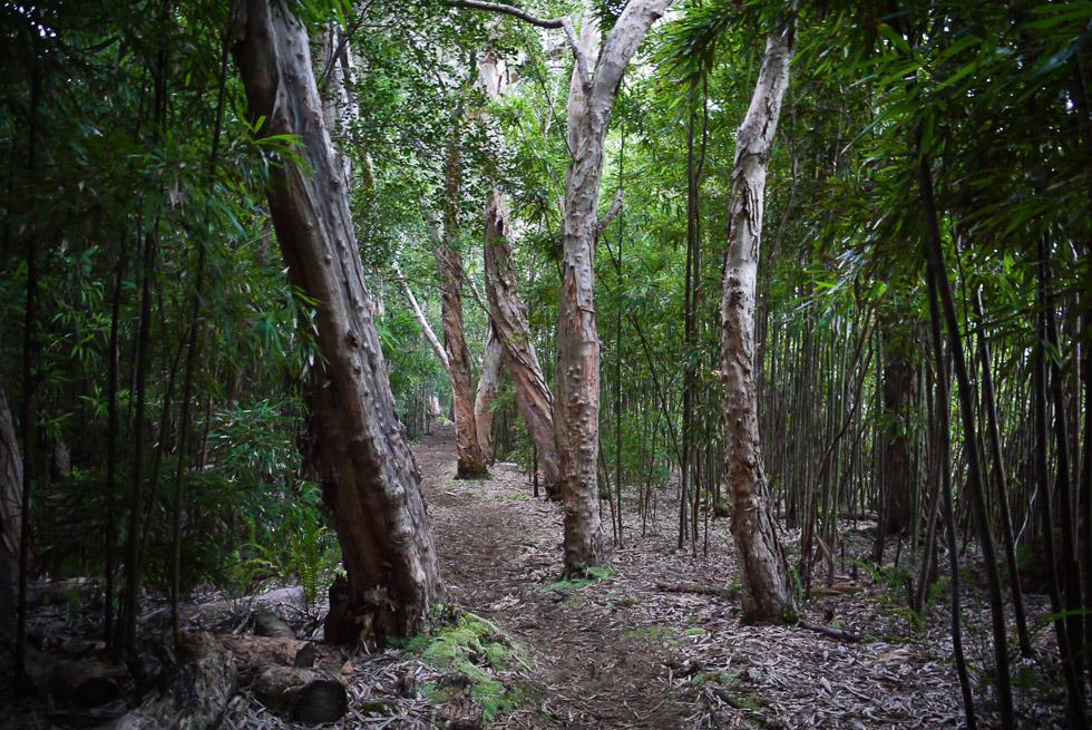 Деревья с лысыми бородавчатыми стволами