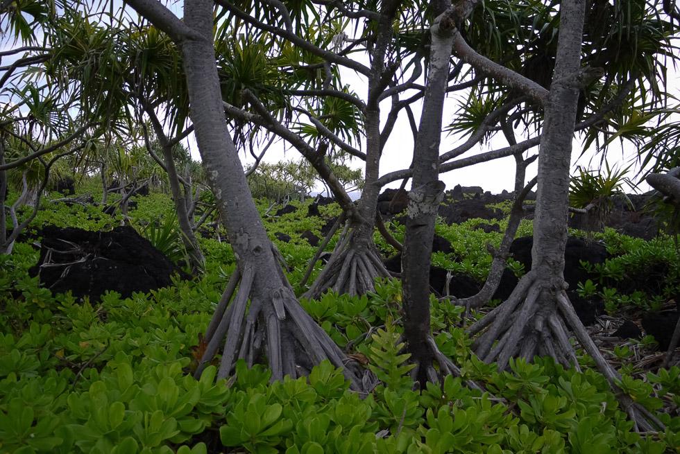 Дерево Хана (Пандан)