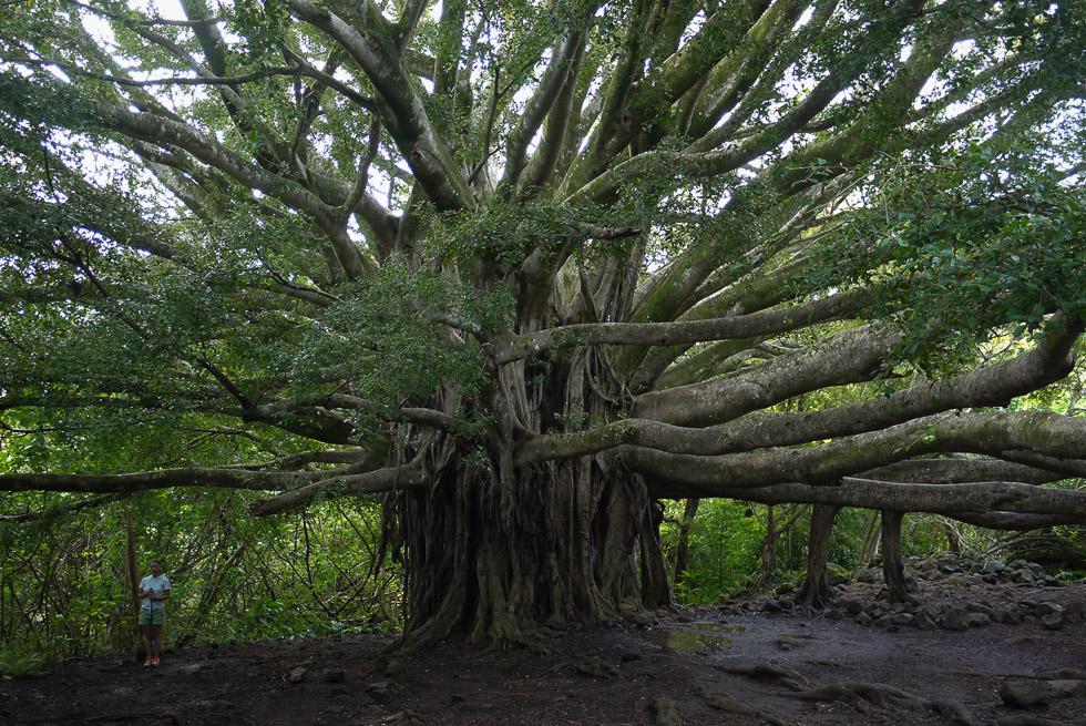 Гигантское дерево