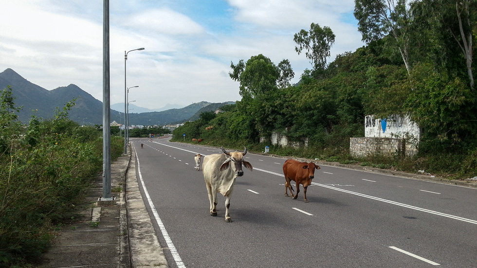 Коровий трафик