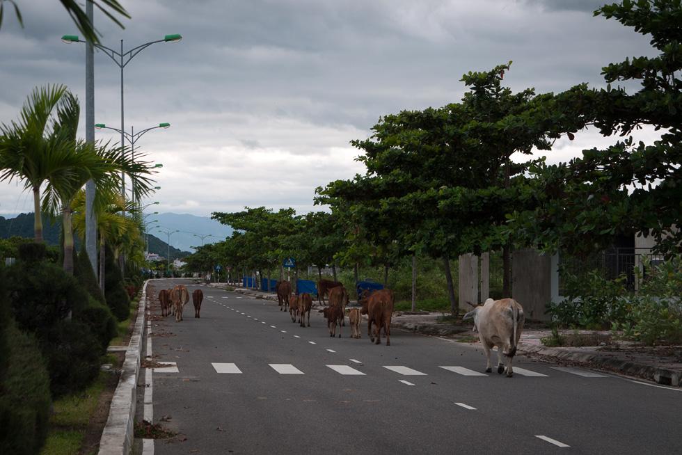Коровы на улице